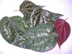 khasiat daun sirih merah untuk keputihan