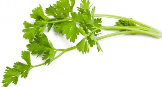manfaat-daun-seledri-untuk-asam-urat